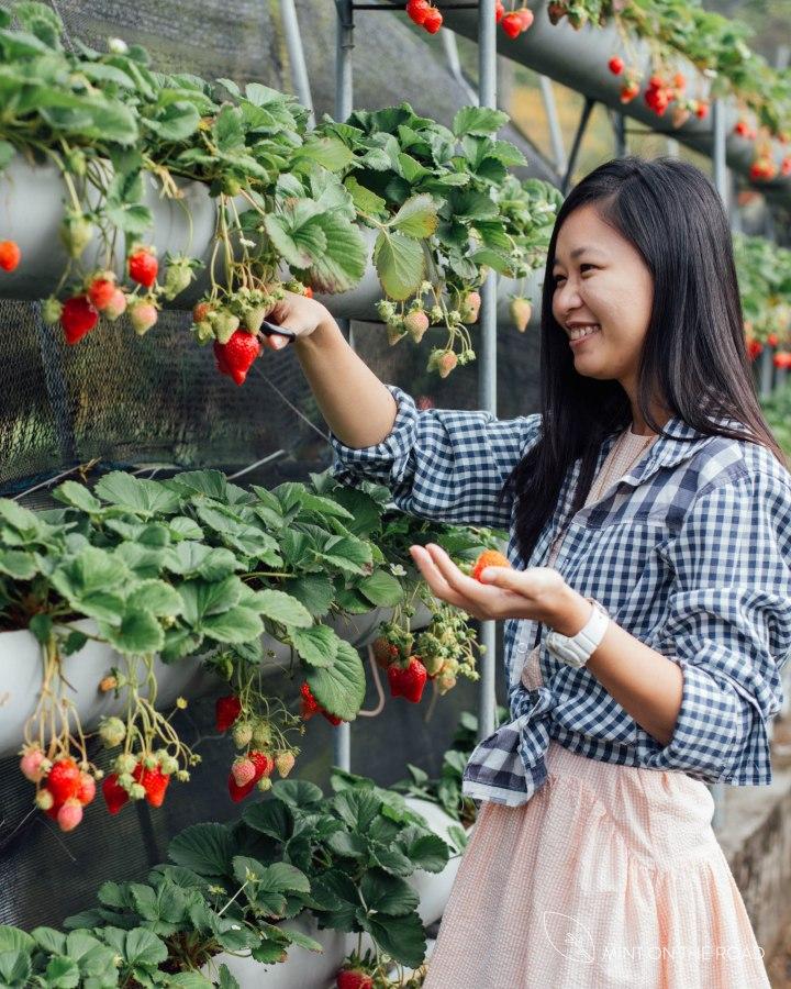 苗栗|鸿运草莓园|到草莓王国採草莓