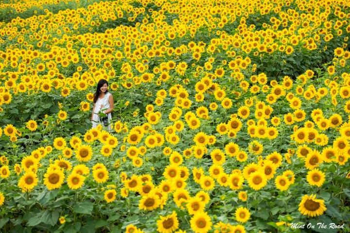 北海道|迷失太阳花田里
